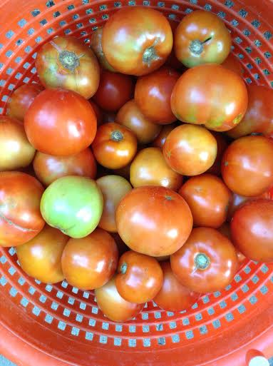 1st Week of Tomato Harvest: August 2015